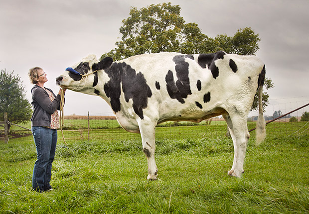 Blosom---Tallest-Cow-ever-guinness-world-records2
