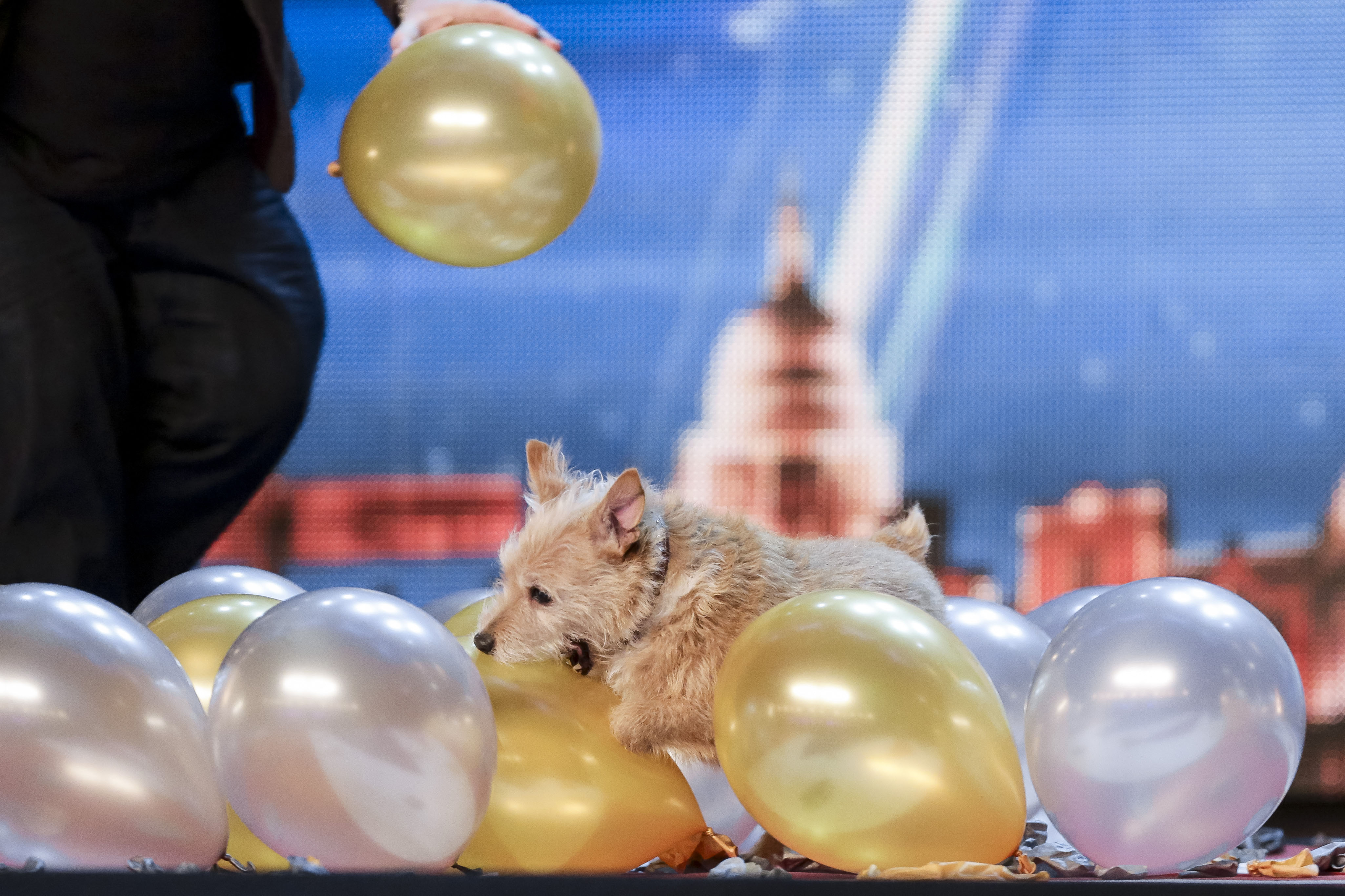 Video: Watch Cally 'The Wonderdog' set fastest time to pop 100 balloons record on Britain's Got Talent