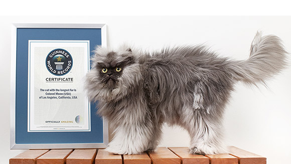 colonel meow the cat with the longest fur makes it into new guinness world records 2014 book - Smallest Cat In The World Guinness 2013