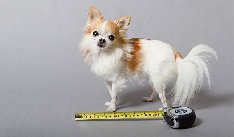Cupcake is the world's smallest service dog