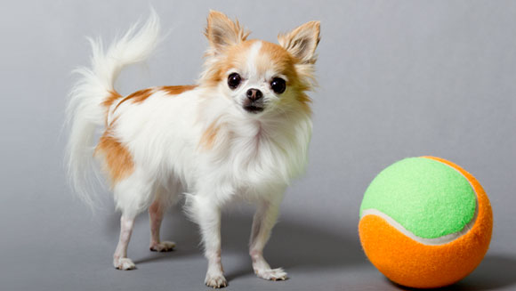 Video: How tiny dog Cupcake fetched a world record and helped her owner overcome tragedy