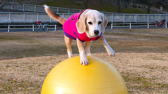 National Puppy Day: Video - Purin the talented beagle breaks record walking on giant ball