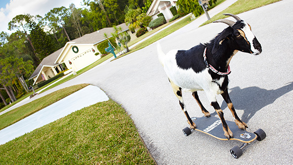 Video: Happie the incredible skateboarding goat