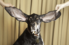 Video: Meet Harbor - The new dog with the longest ears in the world