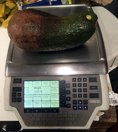 Heaviest avocado on scales