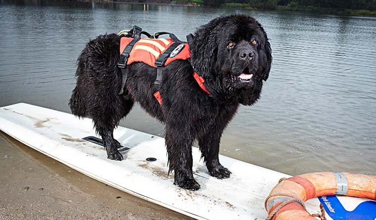 Jack the Black has the record for the fastest time for a dog- to retrieve a person from water