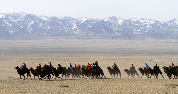 Largest camel race in full swing