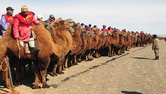 Video: Thousands take part in largest camel race as part of initiative to increase animal's population in Mongolia
