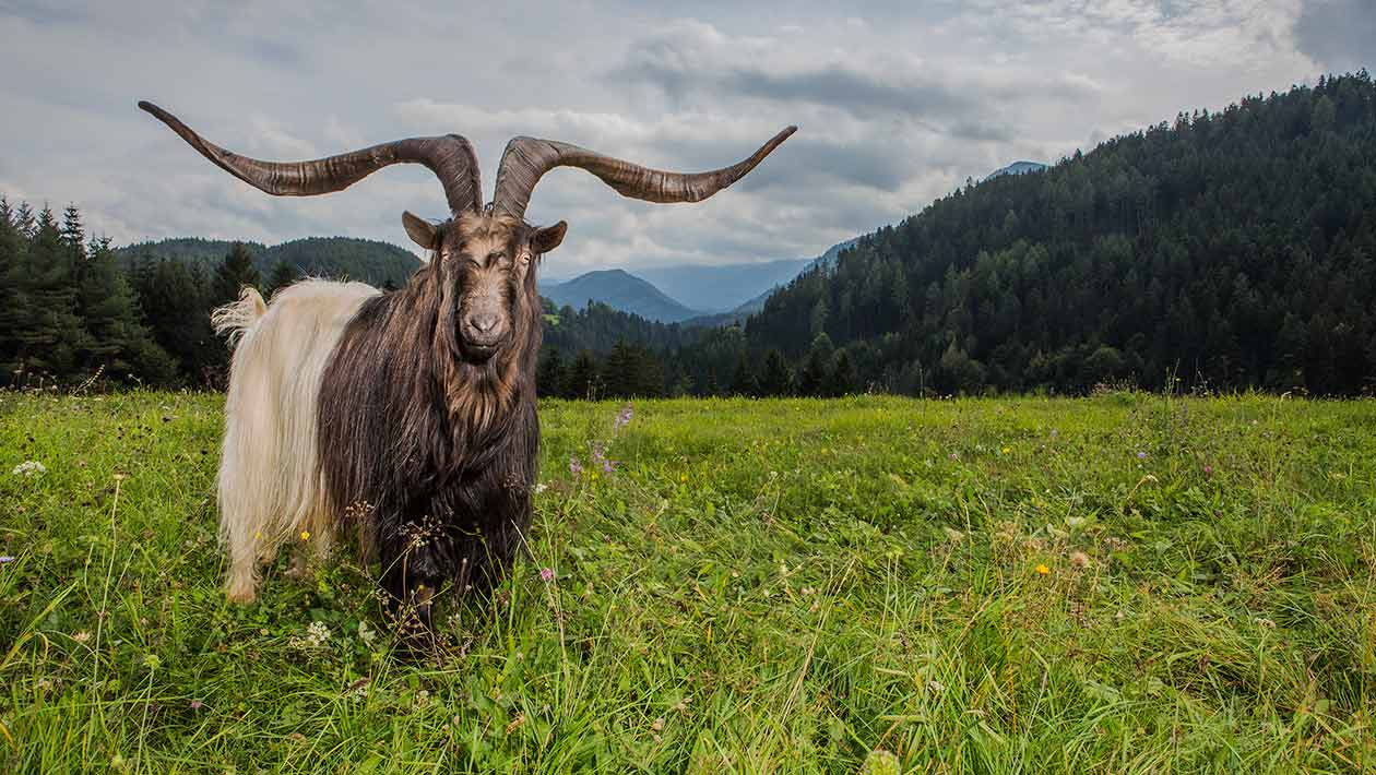 video meet rasputin the goat with the largest horn spread