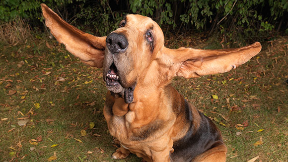 Video Classics: Tigger the Bloodhound has the longest ears on a dog ever