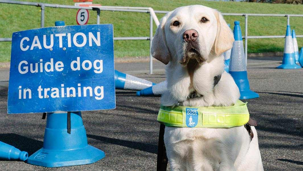 Video: How pups are trained at the UK's record-breaking Guide Dogs organisation