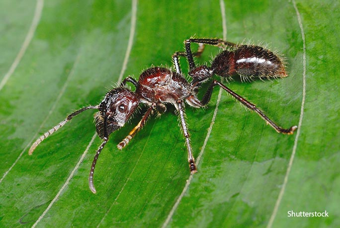 The pain from the sting of a bullet ant is said to last for at least eight hours!