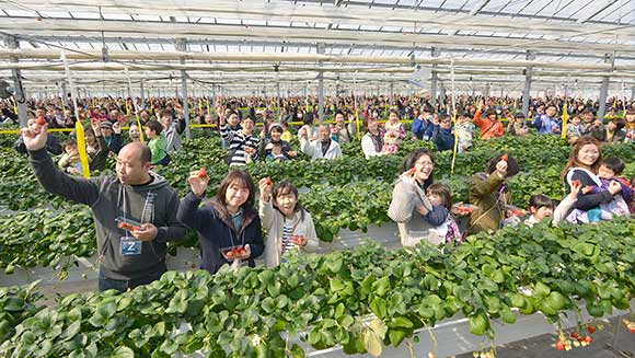 Japanese community comes together to set strawberry picking record after earthquake