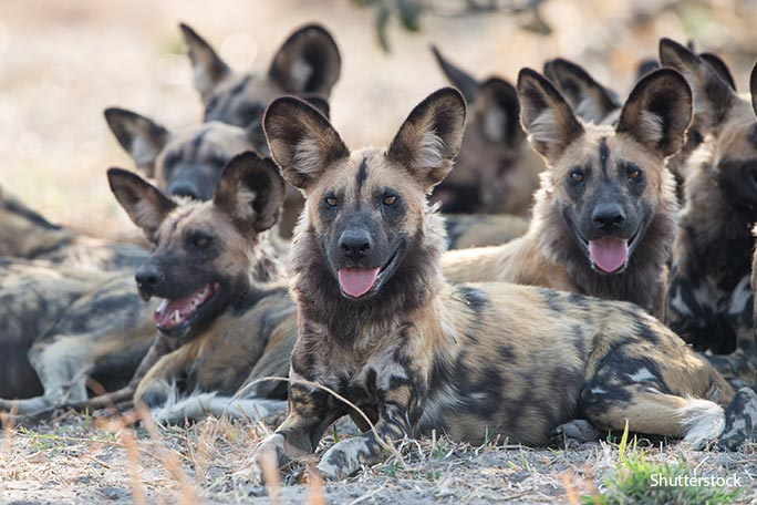 Most-successful-predator-painted-dog