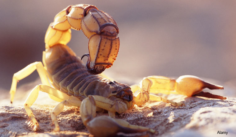 Most venomous scorpion