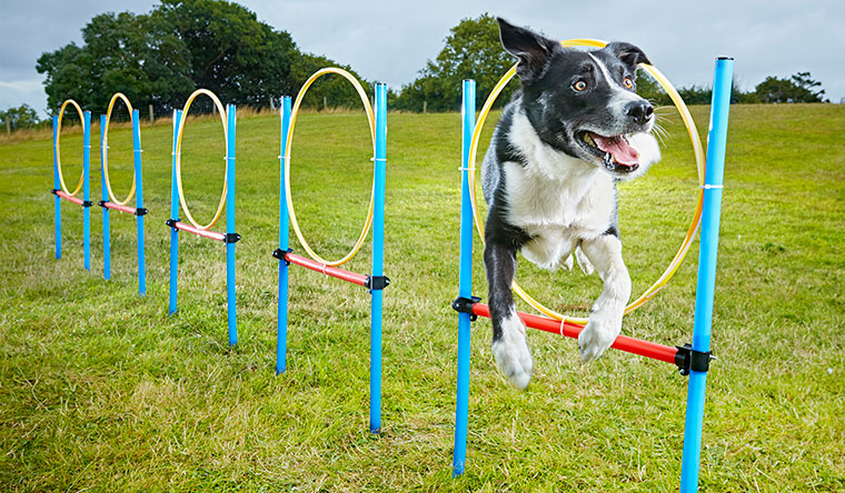 Fastest 10 hoop slalom by a dog