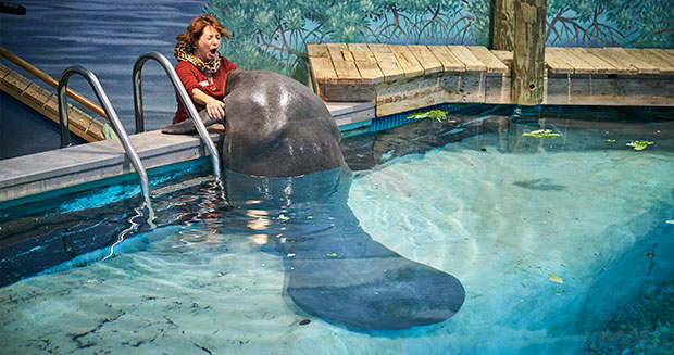 Oldest manatee at Florida museum
