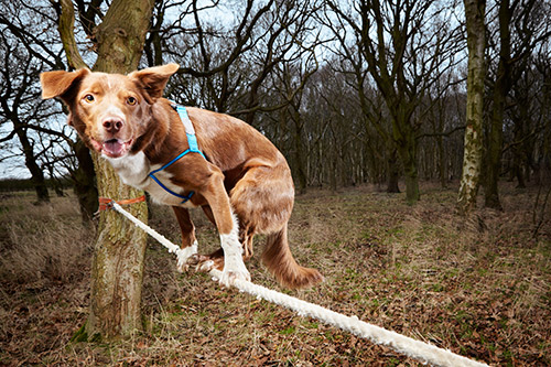 Ozzy---Fastest-Crossing-Of-A-Tightrope-By-A-Dog-0228.jpg