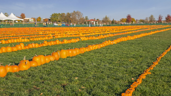 Real estate company gets into the spirit of Halloween by setting longest line of pumpkins world record
