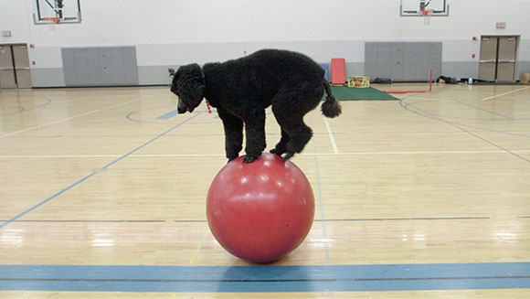 Video: Sailor the poodle sets record for fastest 10m on a walking globe by a dog - Meet the Record Breakers