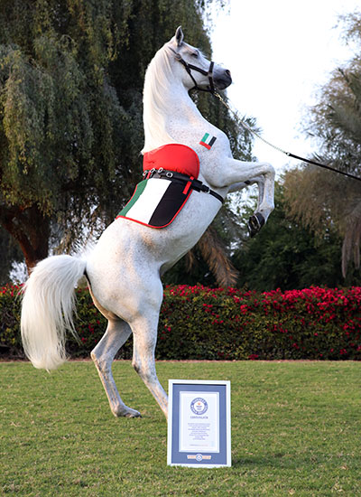 The fastest horse on hind legs with certificate