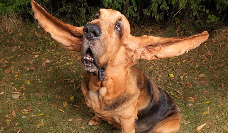 Tigger has the longest ears ever on a dog. They measured 34.9 cm (13.75 in) and 34.2 cm (13.5 in) for the right and left ears respectively