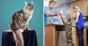 Cygnus, the cat with the longest tail ever, and Arcturus, the tallest cat ever, lived together