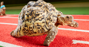 Bertie, the fastest tortoise, can reach speeds of 0.28 metres per second