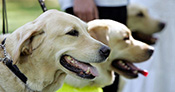 Guide Dogs for the Blind Association had taught an incredible 33,910 graduates by 31 December 2016, earning them a title for the most guide dogs trained by an organisation and a place