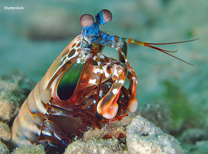 A peacock mantis shrimp shows off its devastating dactyls – the club-like appendages at the front of its body