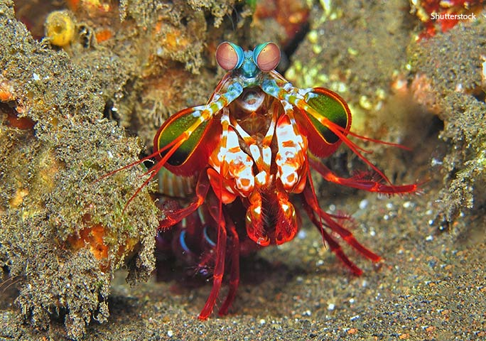 A study into mantis shrimp vision published in Jan 2014 indicates that these crustaceans' complex eyes may not necessarily see more colours than us but they are able to distinguish them more quickly