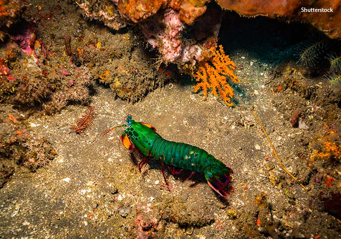 Even mantis shrimps have predators, so they favour habitats with plenty of hiding places such as reefs and rocky areas of the sea floor