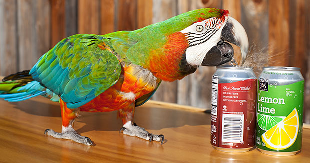 most-drinks-cans-opened-by-a-parrot-in-one-minute