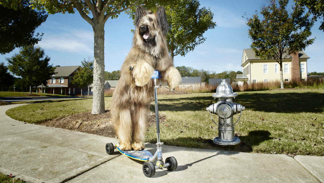 Norman the Scooter Dog: The record-breaking Briard that's battling lymphoma