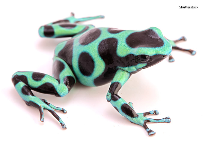 Poison-dart frogs' bright colours are a clear warning to predators that they do not make for a good snack!