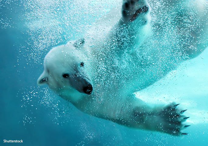 Polar bears are adept swimmers, sometimes travelling several kilometres at sea between floating ice
