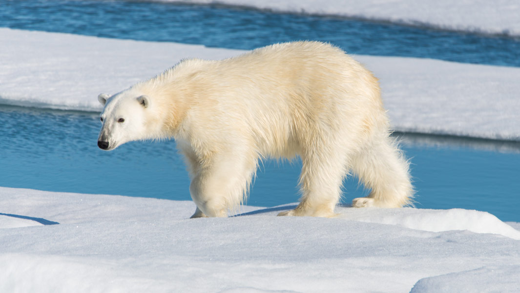 Bigger, Faster, Stronger: Why Polar Bears Are The Most