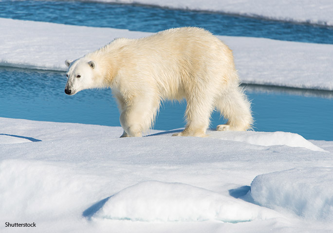 A major element of the the Polar Bear Ranges States' Circumpolar Action Plan is to tackle the decline of sea-ice in the Arctic
