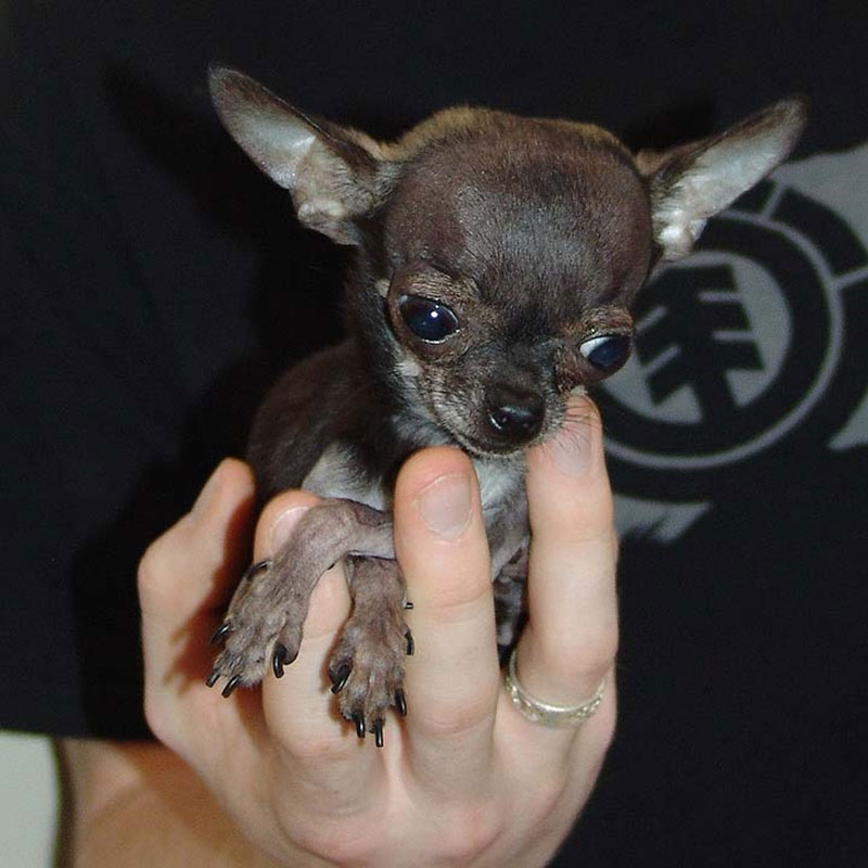 Tiny 1.54-Pound Chihuahua Earns Title of Smallest Dog Ever ... |The Shortest Animal Ever