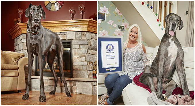 Zeus the Tallest dog ever (left); Freddy, the Tallest living dog (right), with his owner, Claire Stoneman (UK)