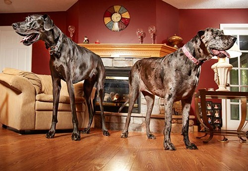 World's tallest female dog Morgan passes away | Guinness ...