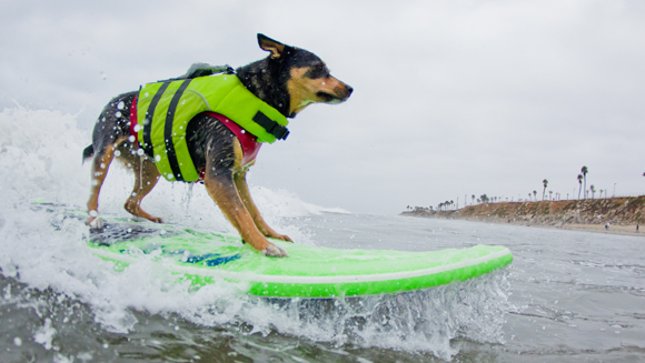 Surfing dog breaks waves and world record