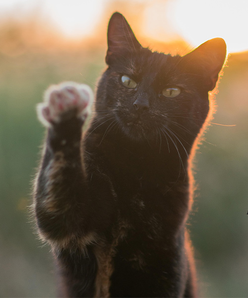 Alexis with one paw extended during sunset