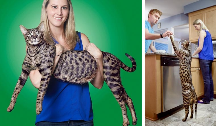 Arcturus Aldebaran Powers is the largest domestic cat ever at 48.4 cm (19.05 inches) tall