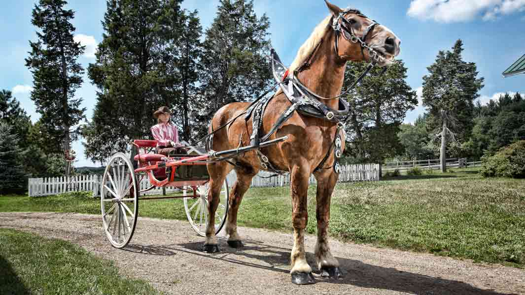 Big Jake - the world's tallest horse