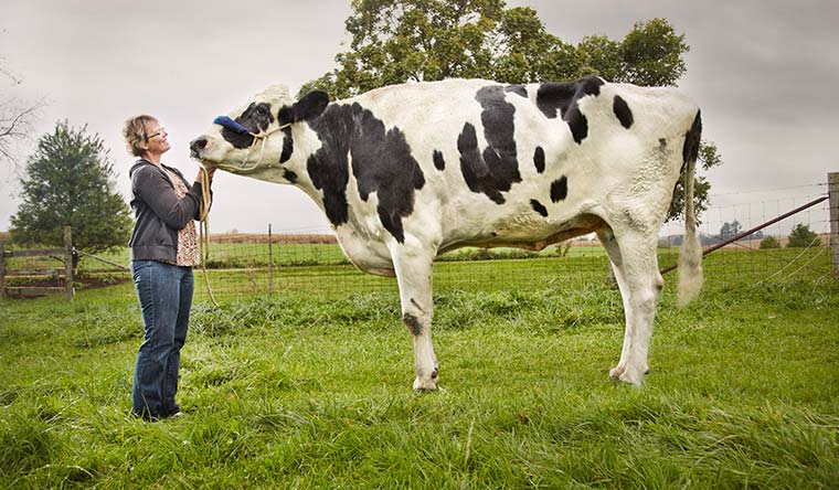 The world's tallest cow ever is Blosom