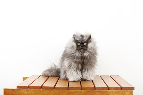 Colonel-Meow---Cat-With-The-Longest-Fur_0022-(2).jpg