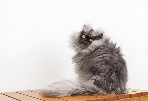 Colonel-Meow---Cat-With-The-Longest-Fur_0022-(3).jpg