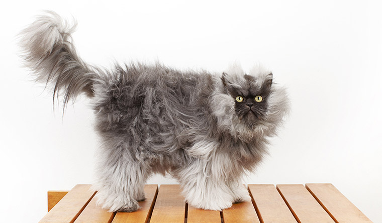 Colonel Meow's fur measured 22.87 cm giving him the record for longest fur on a cat from November 2012 to November 2013