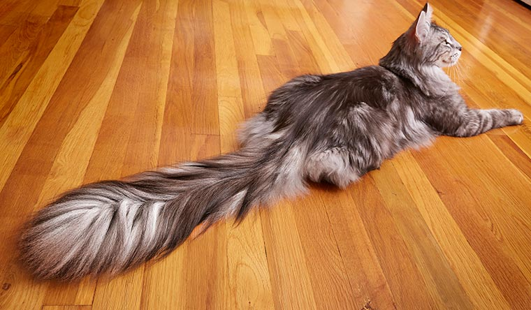 Maine Coon cat Cygnus has the longest tail ever, measuring 44.66 cm (17.58 inches)